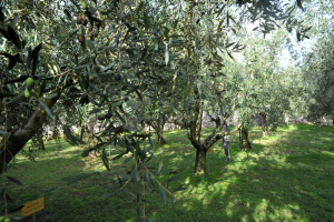 The didactic olive tree grove