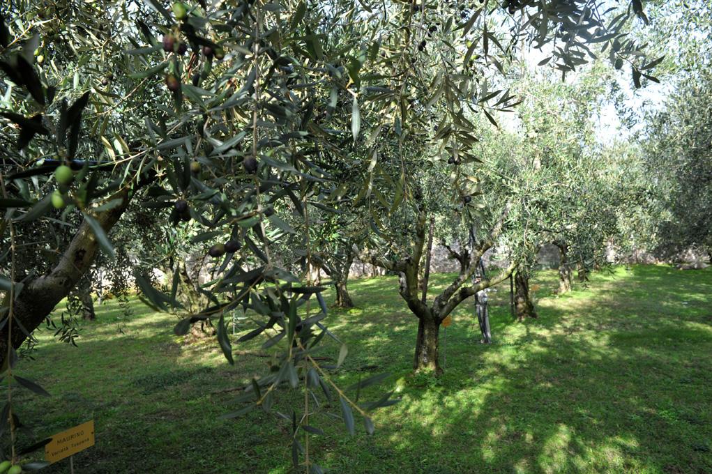 olivi-garda