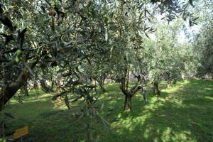L'oliveto didattico al Frantoio Turri, con le varietà del Garda e dell'Italia