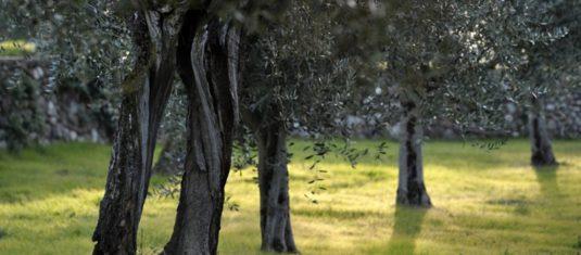 27 diverse varietà di olivo