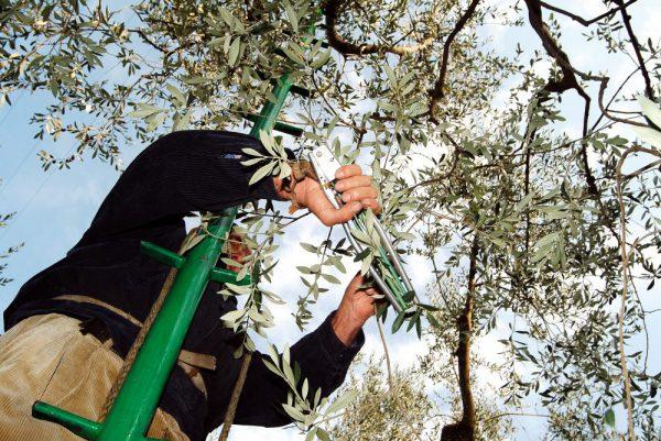 """raccolta olive con """"pettine"""""""