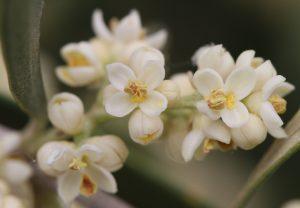 fiori_olivo