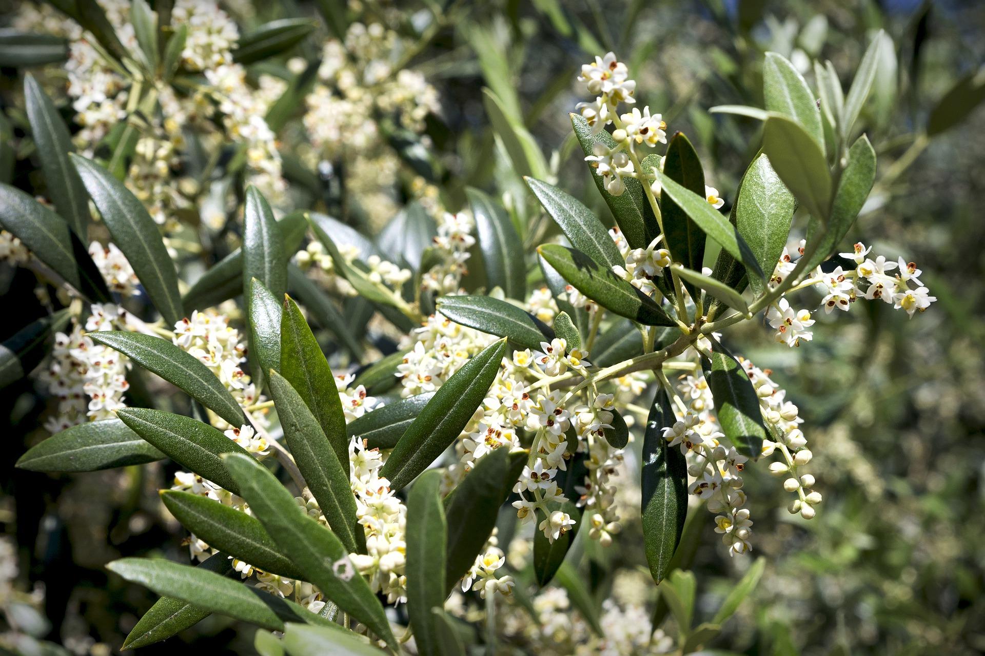 fiori olivo