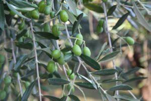 Olives-on-brand